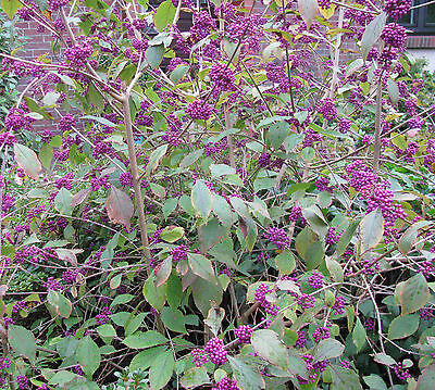 Schönfrucht Callicarpa bodinieri Profusion 40-60cm Sommerblüher Beerengehölz