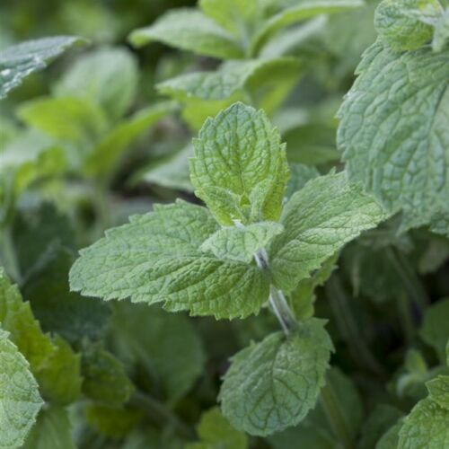 APFELMINZE,Mentha suaveolens /'Apple Mint/' im 0,5L Topf gewachsen