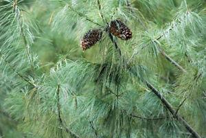 5-Semillas-de-Pinus-Armandii-Pino-Blanco