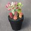 Monadenium-ritchiei-ssp-nyambense-paniculatus-Succulent-plants-potted-Plants thumbnail 1