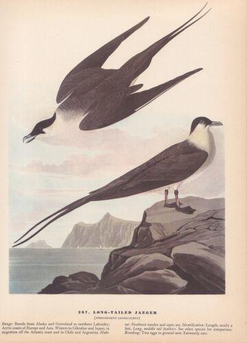 """1942 Vintage AUDUBON BIRDS #267 /""""LONG TAILED JAEGER/"""" Color Art Plate Lithograph"""