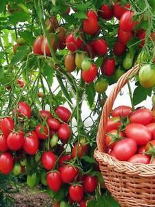 Tomato Seeds Chio Chio San Organic Non Gmo Ukraine 20 Seeds D Ebay