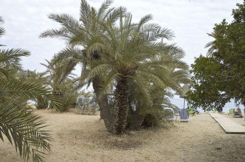 Phoenix theophrasti 10 seeds Hardy Cretan Date Palm theophrastii