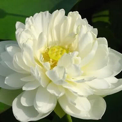 "woo-wall Lotus flower "" Nelumbo nucifera"" 5 seeds *DIY [ZZ12]"