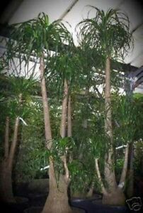Palmensamen-Zimmerpflanze-Exot-ELEFANTENFUSS-immergruen