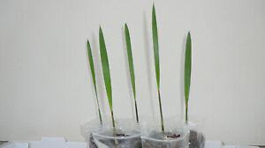 2x-Jubaea-chilensis-Honig-Palme-Pflanze-Palmen-Frosthart-Winterhart-15-25cm
