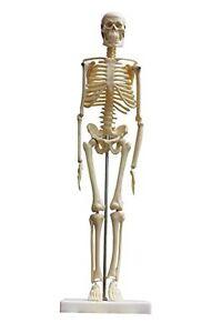 100% Vrai Squelette Humaine 45 Cm Mini Squelette Bureau Articulé Avec Trépied Monté Les Couleurs Sont Frappantes