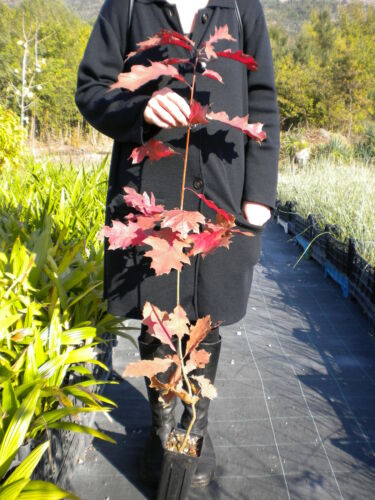 Red Oak Quercia americana QUERCUS RUBRA vq Quercia rossa Champion Oak