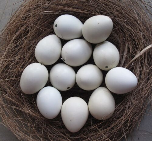 READY TO SHIP 14 (12+2 spares) Blown Empty Jungle Bush White Quail Eggs 1 Hole