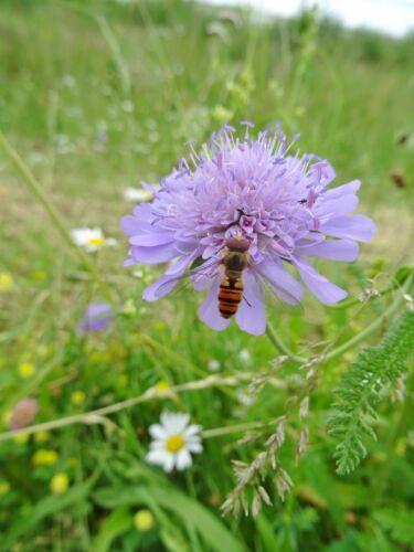 Knautia arvensis vedove Fiore oltre 50 semi API pascolo Farfalla pascolo