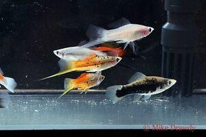 6 Mixed Swordtails Live Tropical Aquarium Fish Livebearer Guppy