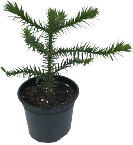 2L Pot Great Gift Araucaria araucana - 4 Years Old Monkey Puzzle Tree