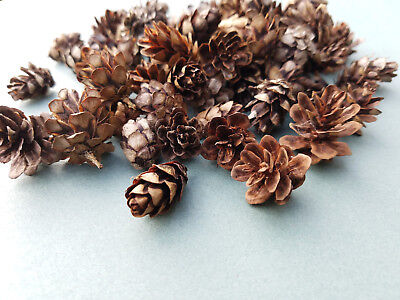 25 Real Natural DOUGLAS FIR CONES pinecones Crafts Christmas Decor