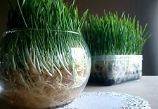 Soilless Pet Grass Kit - Easy to Grow No Mess Treat for Rabbits Guinea Pigs Cats