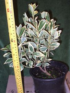 Golden-Euonymus-Aureus-PLANT-evergreen-bush-hedge-shrub-gold-green-leaves-3-LTR