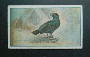 Cigarette Card Sniders Abrahams Animals and Birds Adv Gifts Back 1910 Bower Bird