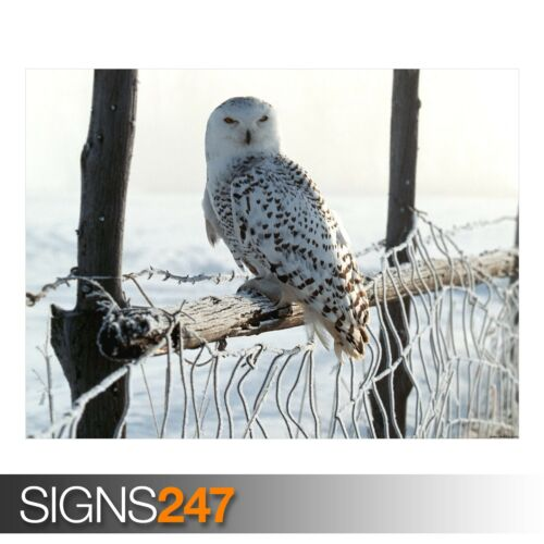 Picture Poster Print Art A0 A1 A2 A3 A4 3742 WHITE WINTER OWL Animal Poster