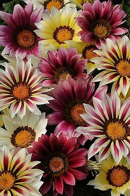 """Gazania New Day - """"Strawberry Shortcake Mix""""  Flower Seeds, Annual"""