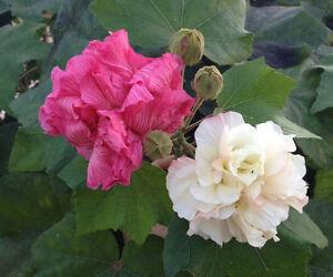 Rose Of Sharon Hibiscus Mutabilis 30 Seeds Huge Flowers Long