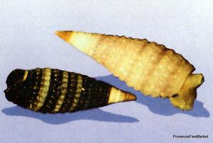 Le Prix Le Moins Cher Yt 343 Coquillages Triphoridae Tahiti PolynÉsie FranÇaise Fdc 1° Jour