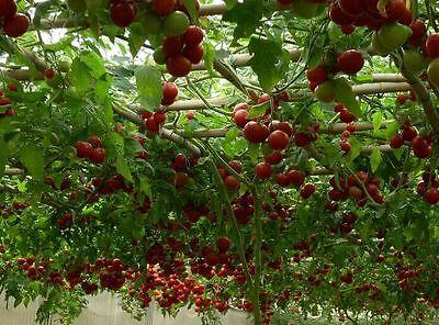 Vegatable seeds  Rare tomato tree Japan high yield Organic Heirloom NON-GMO