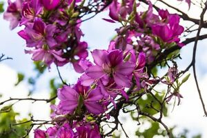 Exotische-Pflanze-034-BAUHINIA-PURPUREA-034-auch-als-Orchideenbaum-bekannt
