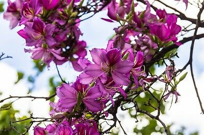"""Accurato Pianta Esotica """"bauhinia Purpurea"""", Anche Come Orchidee Albero Noto.-mostra Il Titolo Originale"""