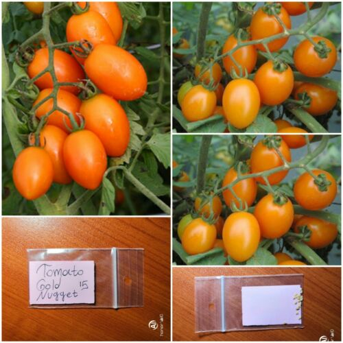 Tomato /'/'Golden Nugget/'/' ~15 Top Quality Seeds Productive Yellow Heirloom