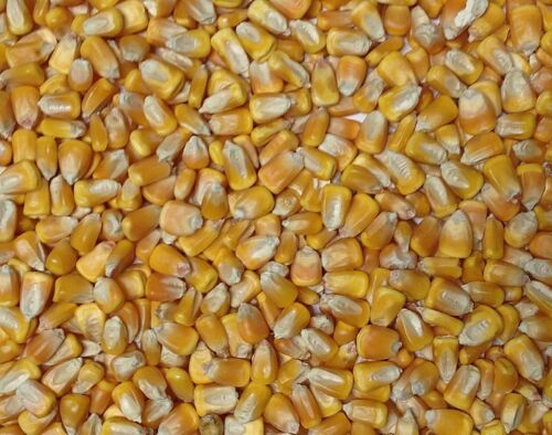 20lbs Dent Field Yellow Corn Seeds for Planting or Feed