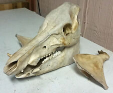 Old Boar Skull w/ Tusks & Shoulder Blades Bones Russian Boar Feral Hog Pig Wild