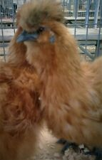 6 Silkie Hatching Eggs Bearded Bantam Assorted Colors Correct Type NPIP