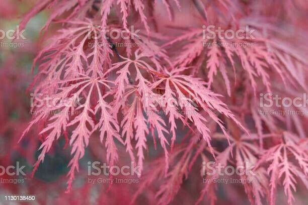 5 Cuttings Red Japanese Maple Tree Unrooted Easy To Grow Propagate 6-8