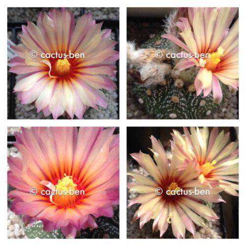 Pink Flower EU Shipping 30 Seeds Korn Astrophytum asterias cv