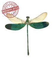 Grasshopper Locust Trigonopteryx celebesia Spread Real Insect Female