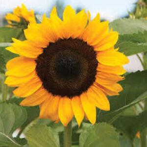 Am-AF-Sunflower-Seeds-Plant-Nut-Bonsai-Garden-Planting-Field-Balcony-Ornamenta