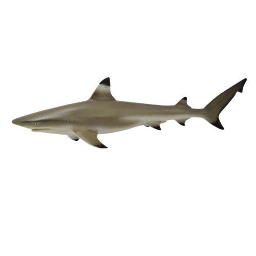 Collecta limbatus Reef Shark