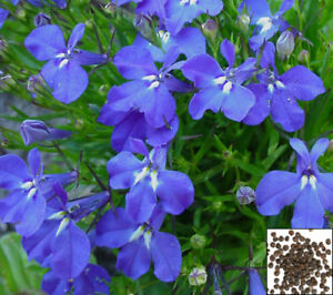Lobelia Purple Riviera Lobelia Erinus 7000 Seeds 1086 Ebay