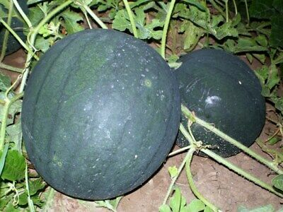 Watermelon Seeds Sugar baby 10 seeds Ukraine D