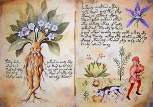 10-Graines-de-Mandragore-039-Mandragora-autumnalis-039-Mediterranean-Mandrake-seeds
