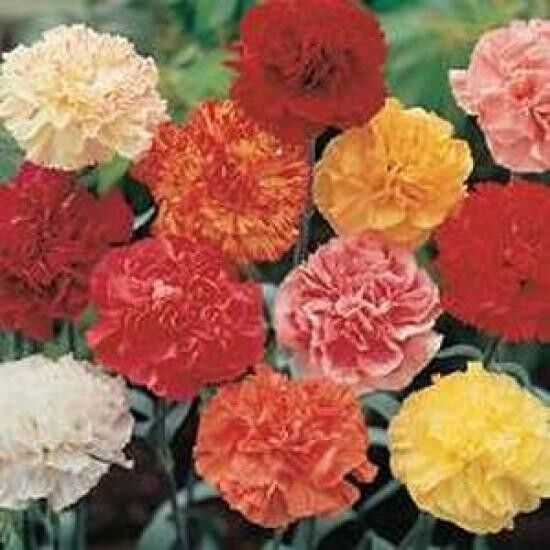 Carnation Dwarf Fragrance Mix Seeds Scented Perennial Six Colours Double Flower