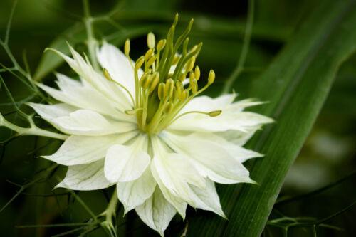 100 Samen Weiße Jungfer im Grünen Nigella damascena Alba