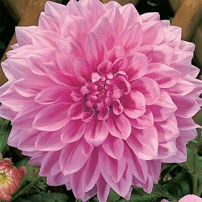 "1 FLEUREL Dinnerplate Dahlia Blooming Size Bulb Tubers *Large White 8-12/"" Blooms"