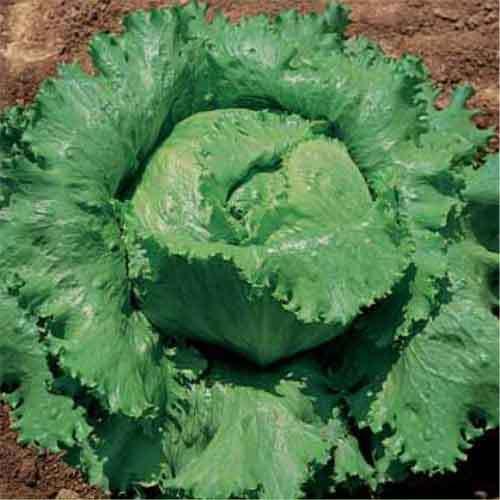 Légumes LAITUE GRANDS LACS 118-10000 FINEST SEEDS