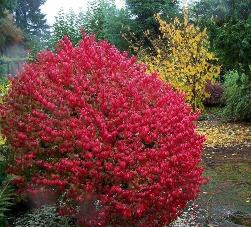 4/'/' pot Proven Winners Burning Bush Fire Ball® Euonymus alatus /'Select/'