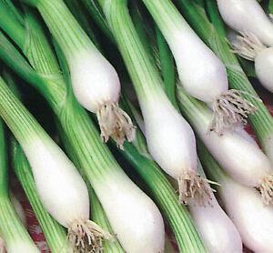onion-WHITE-LISBON-green-bunching-onion-or-SCALLION-99-SEEDS-GroCo-buy-USA