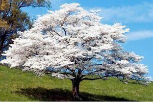 """Lot of ~10~ White Flowering Dogwood Cornus florida 8""""-12"""" Starter Tree Seedlings"""