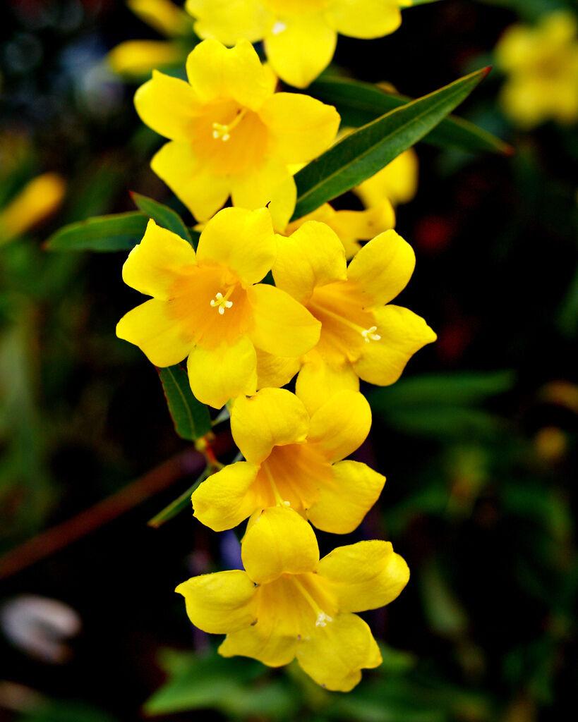 Gelsemium sempervirens carolina jasmine vine rare fragrant flower norton secured powered by verisign izmirmasajfo