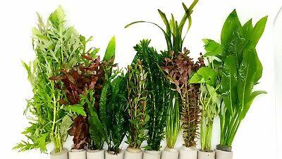 40 Aquariumpflanzen Wasserpflanzen Aquarium Bunter Mix Gegen Algen (€0,25/stk)