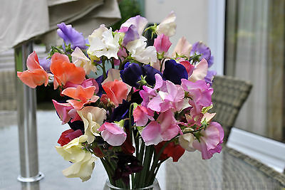 A 2g (approx. 20) sweet pea seeds SPENCER stunning mixed color Nicely scented