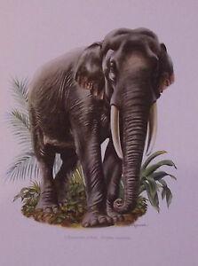 PLANCHE-ANCIENNE-MAMMIFERE-L-039-ELEPHANT-D-039-ASIE